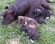 American Pit bull Terrier Puppies for sale Great Papers!!!!
